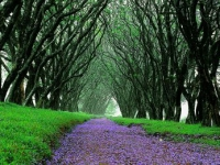 highgrove-house-jacaranda