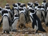 grootbos-african-penguins