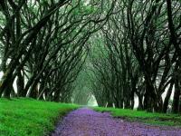 highgrove-jacaranda