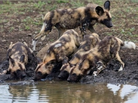 tuningi-newsletr-wild-dogs