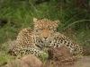madikwe-hills-leopard