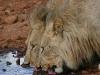 tuningi-lions