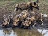 tuningi-newsletr-wild-dogs