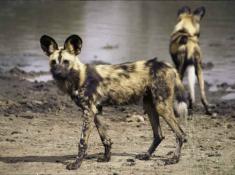 madikwe-hills-wilddogs