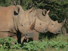 tau-rhino