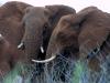 white-elephant-lodge-elephants