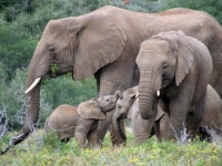 Safari Lodge Elephant Family