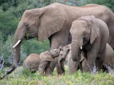 Safari Lodge Elephant Family