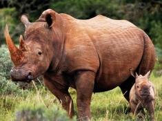 Safari Lodge Rhino & Calf