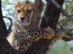 Samara Cheetah