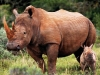 safari-lodge-rhino-calf