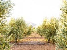 klein-nektar-olive-grove-1