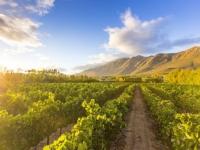 klein-nektar-chardonnay-vineyard-1