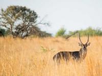 Mziki Lodge Antelope Sighting