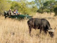 Mziki Lodge Buffalo Sighting
