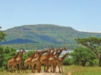 Spionkop Giraffes