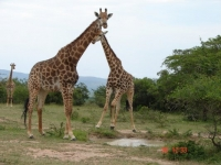 Spion Kop Lodge Giraffes