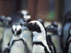 Diaz 15 Penguin