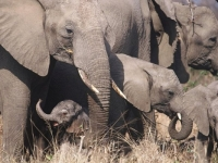 Dulini Elephants