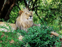 Entabeni Safari Conservancy Lion