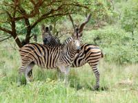 Entabeni Safari Conservancy Zebra