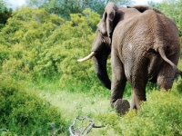 Entabeni Safari Conservancy Elephant