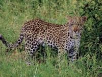 Entabeni Safari Conservancy leopard