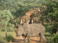 Entabeni Giraffe and Rhino