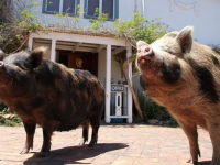 Fynbos Ridge Pigs
