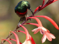 Fynbos Ridge Sun Bird