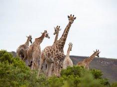 Gondwana-Giraffes
