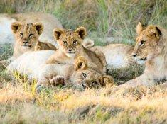 Gondwana-lion-pride