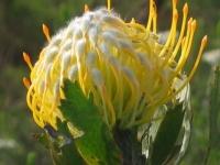 Gondwana Fynbos Pin Cushion