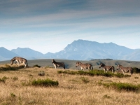 Gondwana Zebra