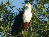 Idube Game Lodge Fish Eagle