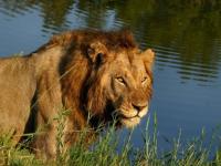 Idube Game Lodge Lion Sighting