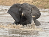 Idube Game Lodge Elephant in Water