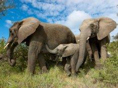 Camp-Jabulani-Elephants