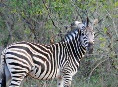 Jackalberry-Lodge-Wildlife-4