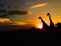 Kapama Game Reserve Giraffes