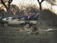 Kapama Game Reserve Lion Sighting