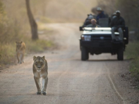 Kapama Game Lodges Lion Sighting