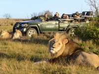 Kariega Game Reserve Lion Sighting