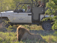 Hamiltons Tented Camp Lion Sighting