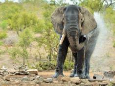 Hoyo Hoyo Elephant