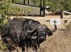 Imbali Buffalo Sighting