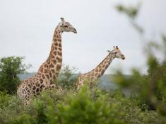 Lukimbi Safari Lodge Giraffe