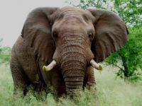 thanda-bull-elephant