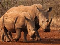 thanda-rhino