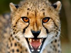 thanda-cheetah